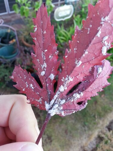 White clusters of soft bodies bugs that look like a fungus: Mealybugs