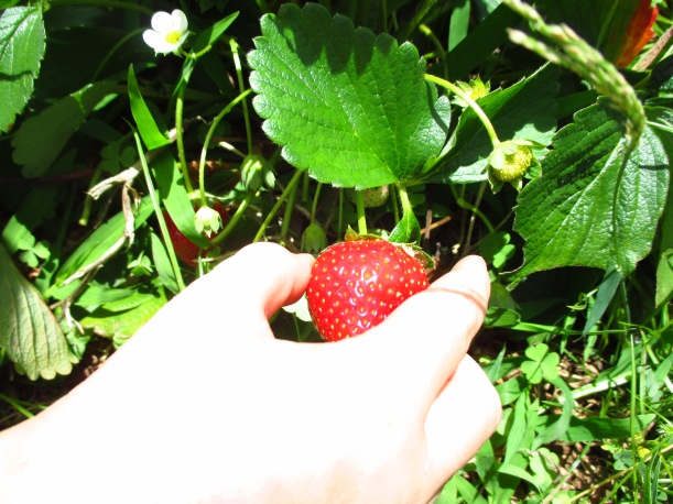 Plucking red strawberries