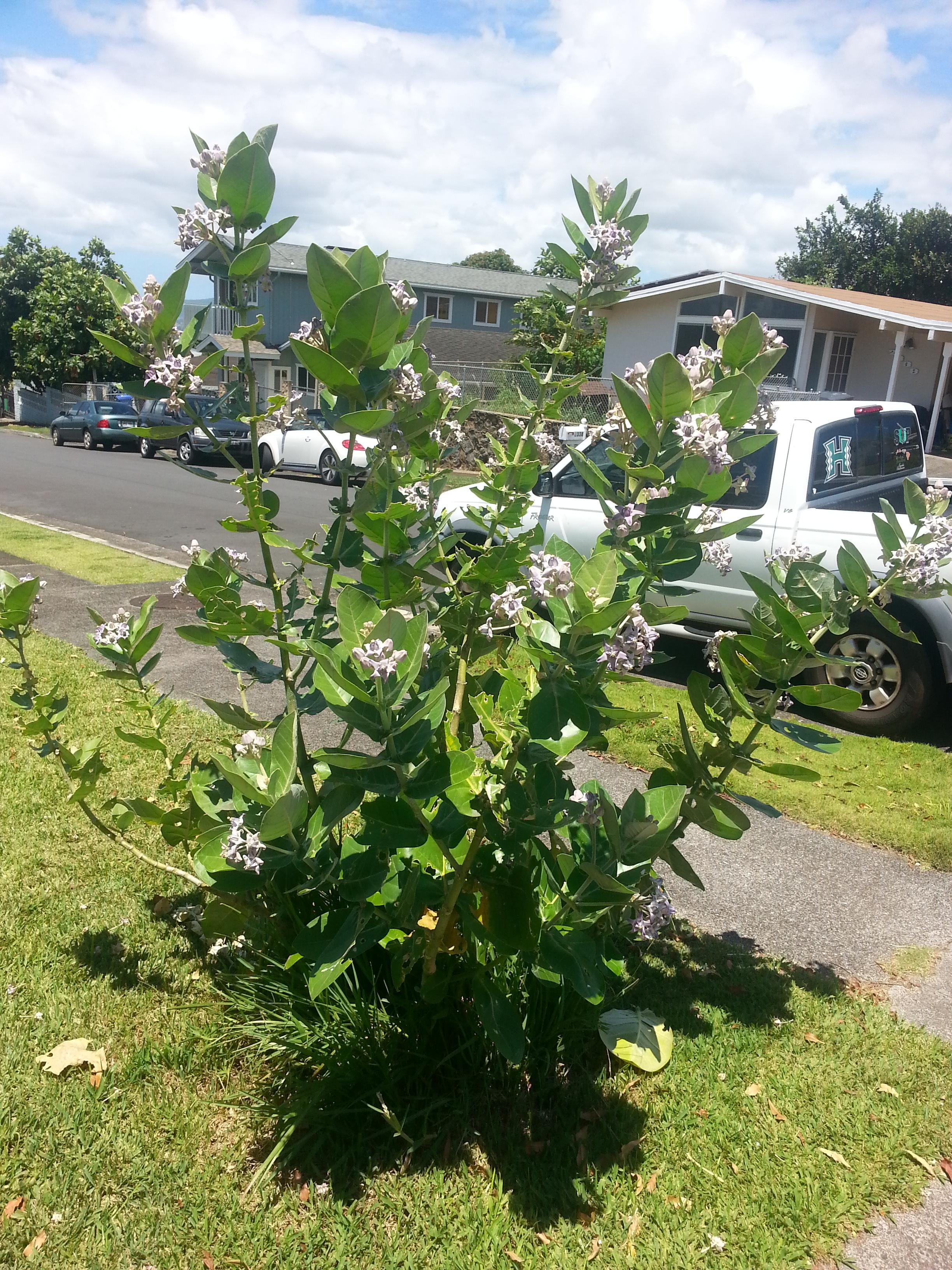 Crown Flower Grow Oahu