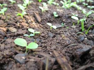 Tiny lettuce sprouts