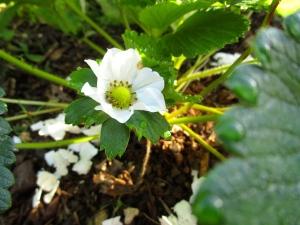 Strawberries are flowering