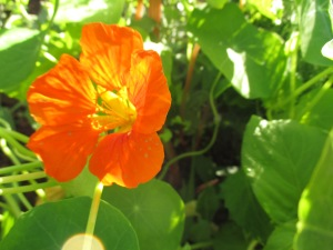 Nasturtiums are blooming