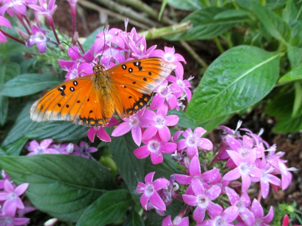 On the pentas flowers