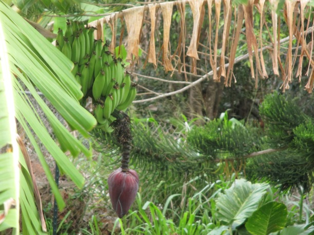 Our first bananas! Originally from a keiki I got from a friend in our permaculture course