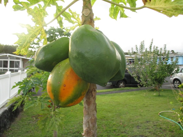 Some of our many papayas!