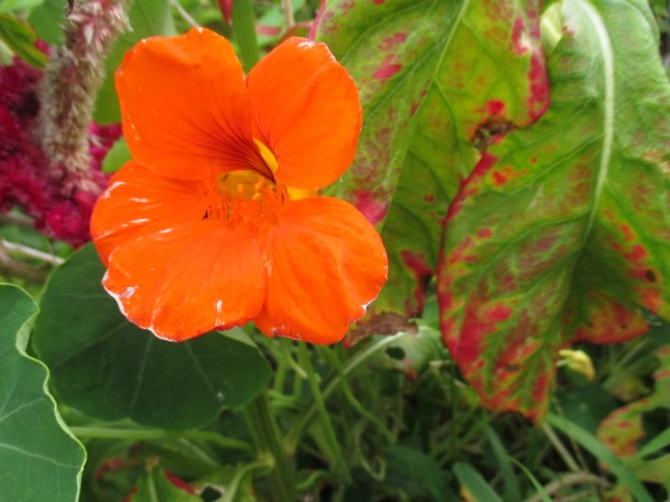 Nasturtiums that keep blooming