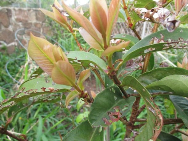 New growth on the mountain apple tree after a season of getting eaten by something