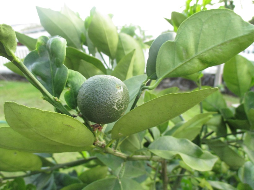 New friends! Our citrus tree is finally fruiting