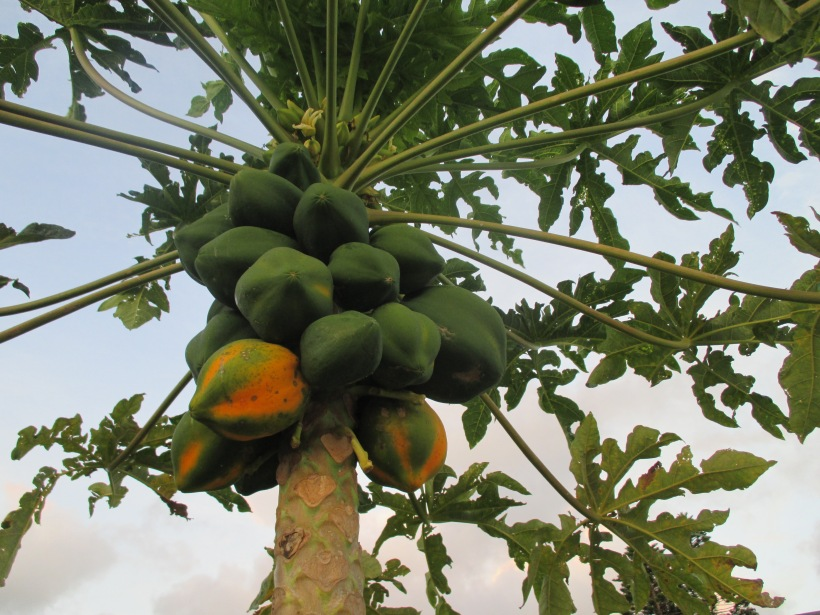 Papaya! Eating this daily now, frozen in smoothies