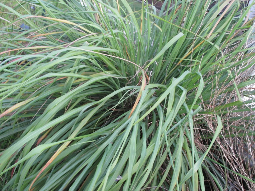 Lemongrass needs cut back again...time for tea!
